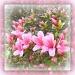 mum's azalea by sarah19