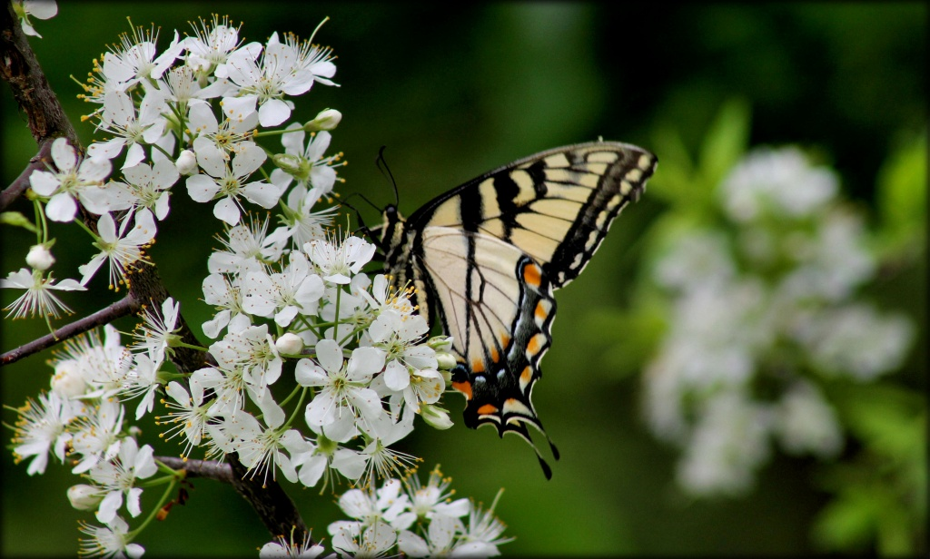 Tiger Swallowtail by cjwhite