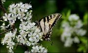 30th Mar 2012 - Tiger Swallowtail