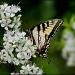 Tiger Swallowtail by cjwhite