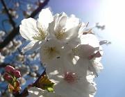 1st Apr 2012 - Sunny Blossom