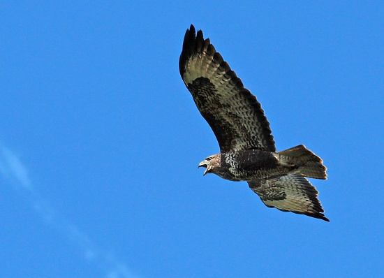 Buzzard by janturnbull