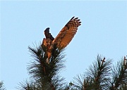 1st Apr 2012 - Great Horned Owl