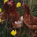 Daffodils and Hens  by snowy