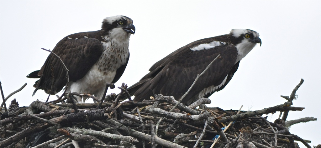 """Osprey on right, """" Nobody saw that did they?"""" by sailingmusic"""