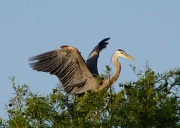 2nd Apr 2012 - Blue Heron in Treetops