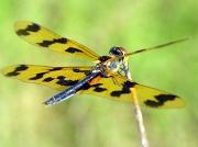 3rd Apr 2012 - Dragonfly
