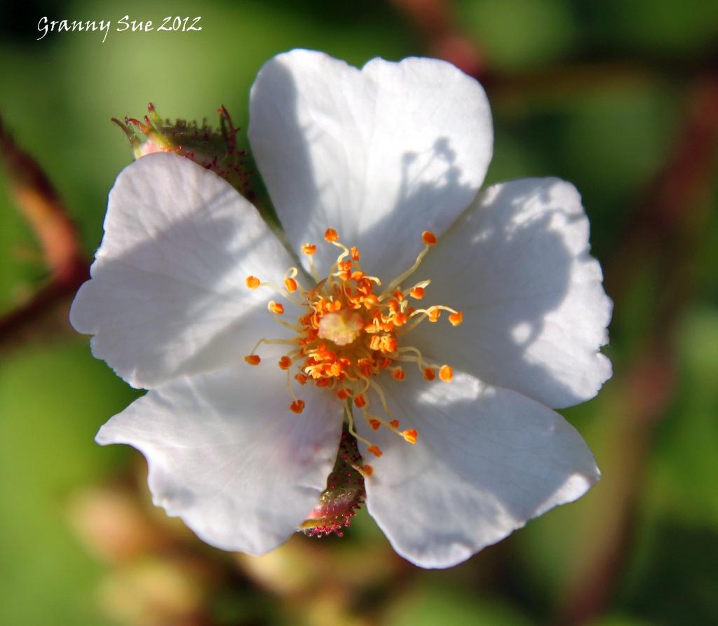 Wild white rose by grannysue