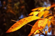5th Apr 2012 - Autumn leaves