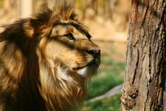 The Lion by kerristephens