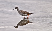 5th Apr 2012 - Lesser Yellow Legs