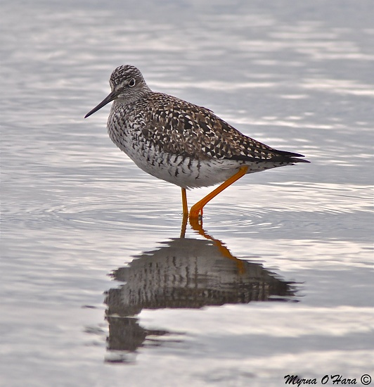 Reflections of a Lesser Yellow Legs by sailingmusic