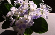 6th Apr 2012 - African violets