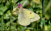 6th Apr 2012 - Clouded Sulphur