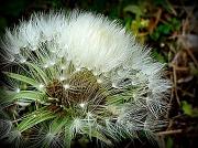 6th Apr 2012 - Fluff
