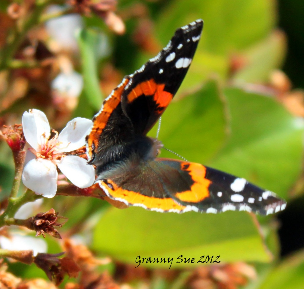 Jack in the Box Butterfly  by grannysue
