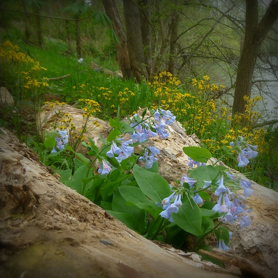 Virginia Bluebells by calm