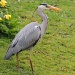 Heron at Swiss Gardens  by rosiekind