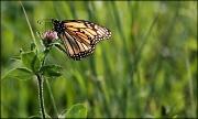 8th Apr 2012 - Butterfly dance
