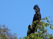9th Apr 2012 - Black Cockatoo