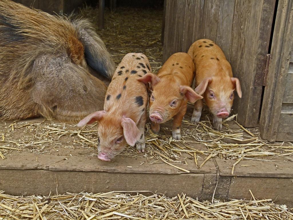 potential piggies by jantan