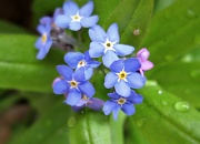 9th Apr 2012 - Forget Me Not