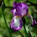 Iris by cjwhite
