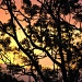 golden sky by corymbia
