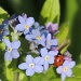 Forget me not complete with ladybird by rosiekind