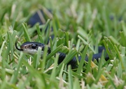 11th Apr 2012 - Florida Black Racer