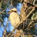 Laugh Kookaburra  by sugarmuser