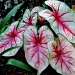 Caladium by stownsend