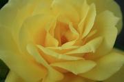 13th Apr 2012 - Mellow Yellow