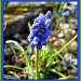 grape hyacinth by jmj