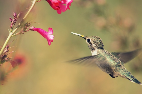 Little Hummingbird by kerristephens