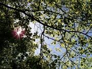 15th Apr 2012 - New oak leaves and sunshine...