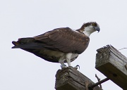 14th Apr 2012 - Osprey Next to Nest
