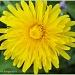 Dandelion by carolmw