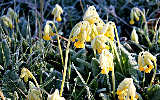 Chilly Cowslips by kimcrisp