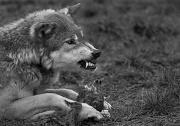 16th Apr 2012 - Wolf Feeding