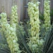 a bloomin' yucca plant by suelbiz47