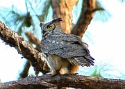 17th Apr 2012 - Great Horned Owl