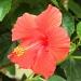 Hibiscus by tara11