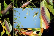 18th Apr 2012 - White Cedar Caterpillars