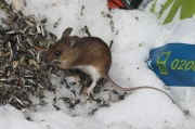 10th Apr 2012 - Rattus norvegicus - Rat Rotta IMG_1874
