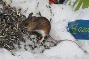 10th Apr 2012 - Rattus norvegicus - Rat Rotta IMG_1874