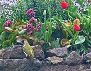 19th Apr 2012 - green woodpecker