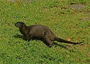 19th Apr 2012 - Like a River Otter Out of Water