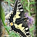 Swallowtail Butterfly by joannapayne