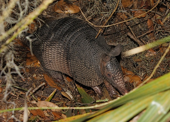 My First Armadillo by rob257